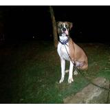Perro Boxer Para La Monta