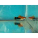 Pez Cola De Espada / Swordtail Fish