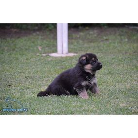 Cachorros Ovejero Alemán Pedigree De Poa Tatuados