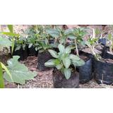 Plantas De Pepino Dulce Orgánicos !!!!!