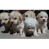 Poodle ,perros Poodle,cachorros Poodle,hermosos Poodle