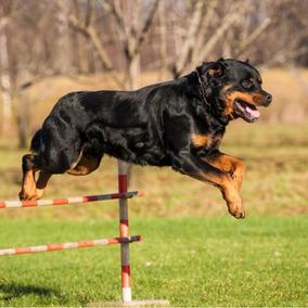 Curso Adestramento Video Aulas Rottweiler Frete Gratis