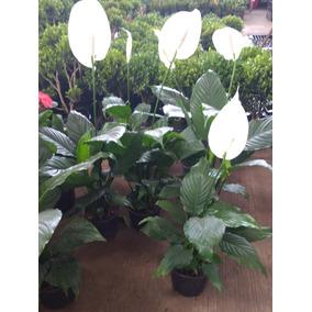 Planta Cuna De Moises (spathiphyllum)
