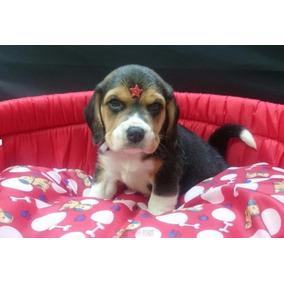 Filhotes De Mini Beagle Em Belo Horizonte