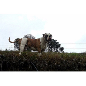 Bulldog Americano - Filhotes