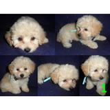 Perro Poodle Mini Toy