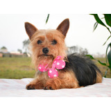 Linda Yorkshire Terrier Pequeña - Raza Antialérgica