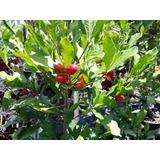 10 Sementes De Fruta Do Milagre Manual De Cultivo