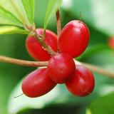 Muda De Fruta Do Milagre - Já Produz!
