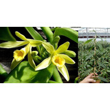 Muda Orquidea Baunilha Estaca De 20cm Ou + Com Raizes