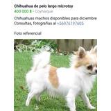 Chihuahuas Microtoy Pelo Largo