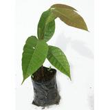 Planta De Nuez Pili Canarium Ovatum Frutas Exoticas Ecuador