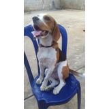 Beagle Para La Monta