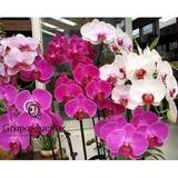 Phalaenopsis Mudas De Orquídeas Kit C/10