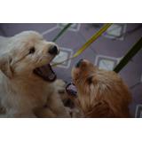 Cachorros Golden Retriever!!
