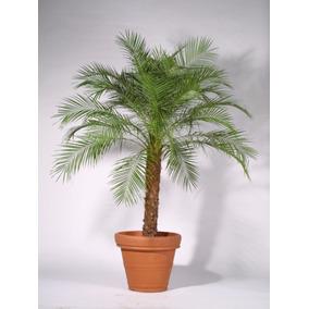 Palmeira Fênix Diversos Tamanhos