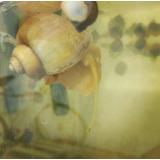 Caracol Manzana - Pomacea Bridgesii - Ideal Limpia Acuarios