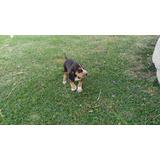 Cachorros Bloodhound De 5 Meses