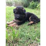 Cachorros Pastor Aleman Puro Vacunados Y Desparacitados