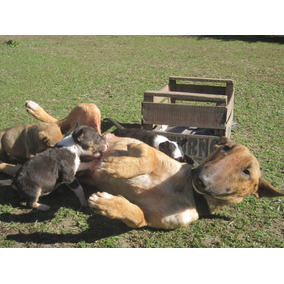 Cachorras Bull Terrier Con Fca