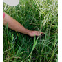 15 Kg De Sementes De Tifton-9 (paspalum Nutatum)