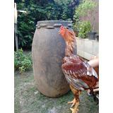Ovos De Indio Gigante Galados