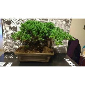 Bonsai Junipero 5 Años