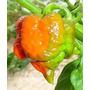 Pimenta Trinidad Scorpion Butch T Muito Forte 10 Sementes