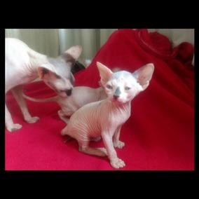 Filhotes Sphynx Gato Sem Pelo C/ Pedigree Excelentes Padrão