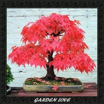 Kit 20 Sementes 10 Acer E 10 Pinheiro Negro Árvore Bonsai