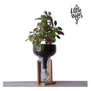 Dolar Negro Little Plant 32 Con Soporte, Maceta Autorregante