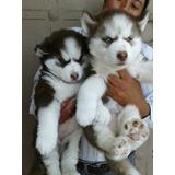 Huskys Con Opcion A Pedigre Con Kit Royal Canin De Regalo