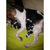 Se Venden Hermosos Cachorros Beagle