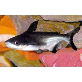 Peixes - Pangasius ( Tubarão De Água Doce )