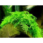 Plantas Acuáticas Para Acuario Christmas Moss