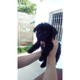Cachorros De Poodle Mini Toy