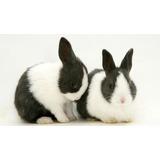 Conejos Para Cria O Mascota