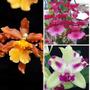Kit 3 Mudas Orquideas Catatante + T.sweet + Cattleya Híbrida