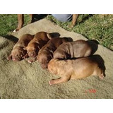 Lindos Cachorritos Pitbull Red Nose