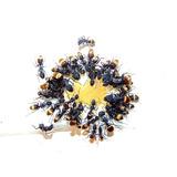Hormigas Para Mascota Camponotus Chilensis