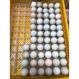Pollitos Nacidos De Huevo Azul Y Verde