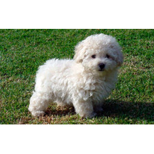 French Poodle Mini Toy