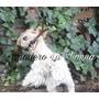 Foxterrier Wire Pedigrí F.c.a. Criadero La Shanna