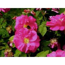 1 Planta Rosa De Castilla Verdadera Vivero Aromatica