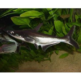Peixes - Pangasius 5 A 6 Cm - Tubarão Água Doce