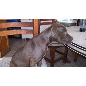 Cachorros Pitt Bull Puros