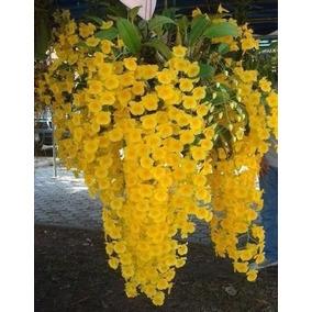 Lindas Touceiras De Orquídea Dendrobium Agregatum