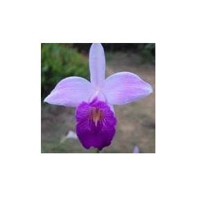 Mudas De Orquídea Arundina (ou Orquídea Bambú) Cor Lilás