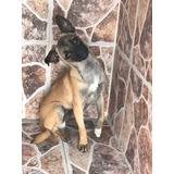 Cruza De Pug Con Chihuahua