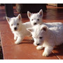 West Higland White Terrier Westy Westie
